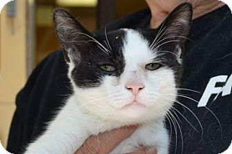 Domestic Shorthair Kitten for adoption in Elyria, Ohio - Koi