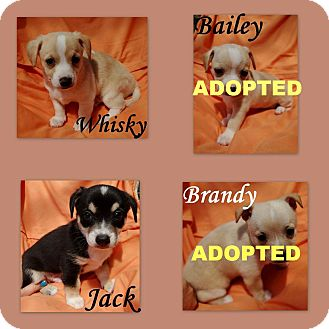 Chihuahua/Dachshund Mix Puppy for adoption in Salem, Oregon - Chihuahua/Dachsund puppies