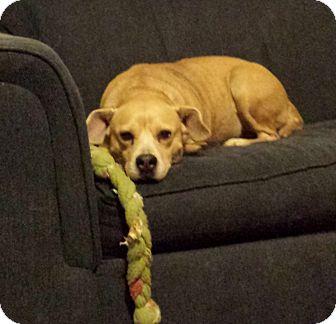 Beagle/Labrador Retriever Mix Dog for adoption in Murphysboro, Illinois - Marla
