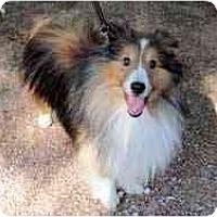 Adopt A Pet :: Teddy - apache junction, AZ