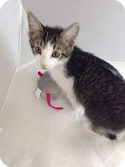 Domestic Shorthair Kitten for adoption in Fountain Hills, Arizona - WEBER