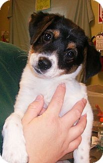 Beagle/Terrier (Unknown Type, Small) Mix Puppy for adoption in union, Missouri - Summer