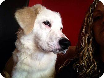 Labrador Retriever Mix Puppy for adoption in Newtown, Connecticut - Dakota