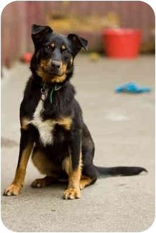 Rottweiler/German Shepherd Dog Mix Dog for adoption in Portland, Oregon - Toby