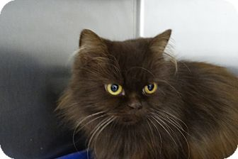 Persian Cat for adoption in Elyria, Ohio - Reesee