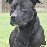 Pit Bull Terrier Dog for adoption in Sebastian, Florida - Otis
