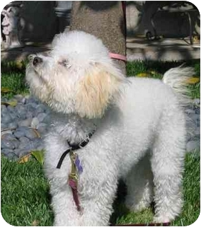 Bichon Frise/Poodle (Miniature) Mix Puppy for adoption in Simi Valley, California - Happy