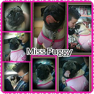 Pug Mix Dog for adoption in Richmond, California - Miss Puggy