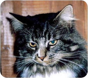 Domestic Mediumhair Cat for adoption in Medway, Massachusetts - Butch