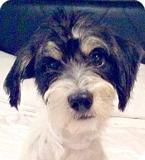 Tibetan Terrier/Jack Russell Terrier Mix Puppy for adoption in Boulder, Colorado - Barry-ADOPTION PENDING