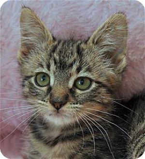 Domestic Mediumhair Kitten for adoption in Lincoln, California - Jane