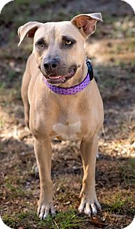Black Mouth Cur Mix Dog for adoption in Navarre, Florida - Abby