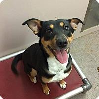 Adopt A Pet :: Sasha - Franklinton, NC