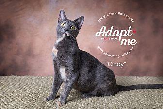 Domestic Shorthair Cat for adoption in Navarre, Florida - Cyndi Lauper