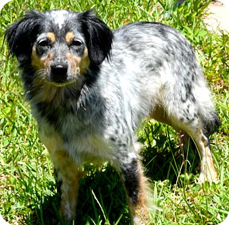Australian Shepherd Mix Dog for adoption in Palm Coast, Florida - Sadie Jean