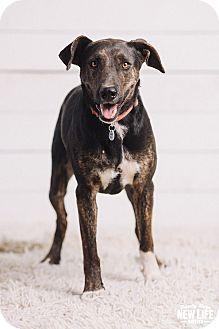 Australian Cattle Dog/Shepherd (Unknown Type) Mix Dog for adoption in Portland, Oregon - Farrah