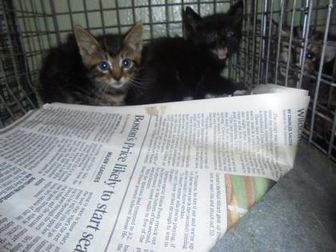 Domestic Shorthair/Domestic Shorthair Mix Cat for adoption in Baton Rouge, Louisiana - Galloway
