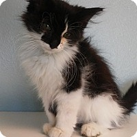 Adopt A Pet :: Scrunch - Knoxville, IA