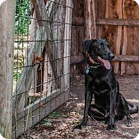 Doberman Pinscher/Labrador Retriever Mix Dog for adoption in Sidney, Nebraska - Dashielle
