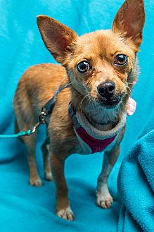 Chihuahua Mix Dog for adoption in Minneapolis, Minnesota - Hayley