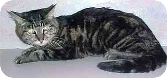 Domestic Shorthair Cat for adoption in North Judson, Indiana - Raina