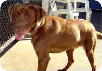 Labrador Retriever Mix Dog for adoption in Albany, Georgia - Rocky