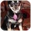 Photo 2 - Chihuahua Puppy for adoption in Rigaud, Quebec - Quita