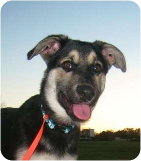 German Shepherd Dog Puppy for adoption in Dripping Springs, Texas - Emmy