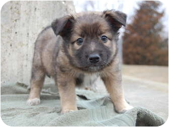 Shepherd (Unknown Type) Mix Puppy for adoption in North Judson, Indiana - Goody