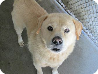 Chow Chow Mix Dog for adoption in Henderson, North Carolina - Scamp