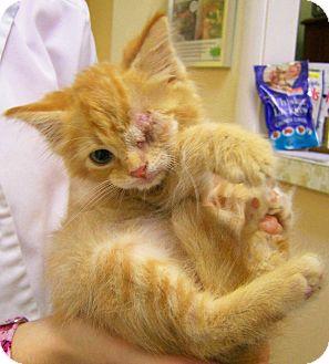 Domestic Shorthair Kitten for adoption in Toledo, Ohio - Gooper