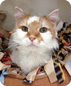 Domestic Longhair Cat for adoption in Palatine, Illinois - Phat Cat