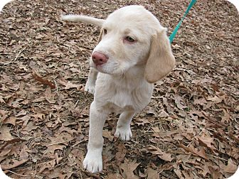 Great Pyrenees/Labrador Retriever Mix Puppy for adoption in Bedminster, New Jersey - Alfredo