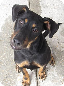 German Shepherd Dog Mix Dog for adoption in Crowley, Louisiana - lucy