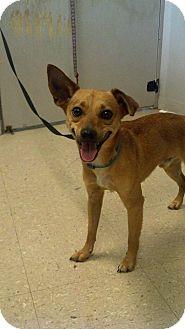 Terrier (Unknown Type, Medium)/Chihuahua Mix Dog for adoption in Farmington Hills, Michigan - Chong
