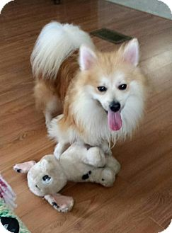 Pomeranian Dog for adoption in Hagerstown, Maryland - Rex