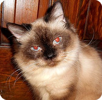 Birman Cat for adoption in Chattanooga, Tennessee - Mia (declaw)