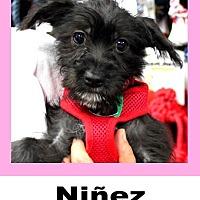 Schnauzer (Miniature)/Chihuahua Mix Dog for adoption in Plano, Texas - Ninez