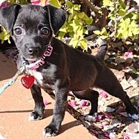 Adopt A Pet :: Henny-Penny - Gilbert, AZ