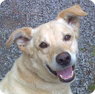 Labrador Retriever Dog for adoption in Lovingston, Virginia - Cooper