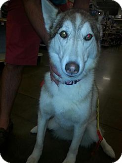 Siberian Husky Dog for adoption in Edmond, Oklahoma - CoCo