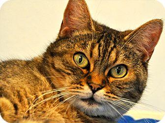 British Shorthair Cat for adoption in Long Beach, California - Asia