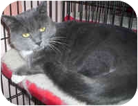 Domestic Shorthair Cat for adoption in Honesdale, Pennsylvania - Boots