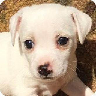Dachshund Mix Puppy for adoption in Houston, Texas - Anna Appleseed