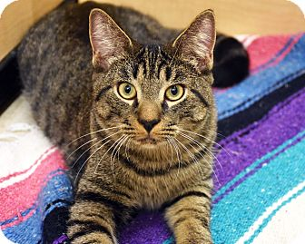 Domestic Shorthair Cat for adoption in Bristol, Connecticut - Leonard