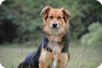 Australian Shepherd Mix Dog for adoption in whiting, New Jersey - Milo