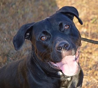 Labrador Retriever Mix Dog for adoption in East Windsor, Connecticut - Gypsy