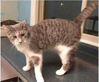 Domestic Shorthair Kitten for adoption in mishawaka, Indiana - Dot