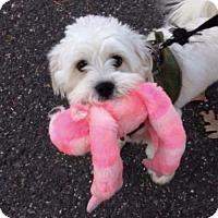 Adopt A Pet :: Fluffy - Sayville, NY