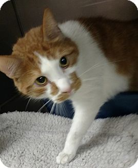 Domestic Shorthair Cat for adoption in Troy, Ohio - Frodo